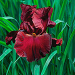 Red Masterpiece Bearded Iris