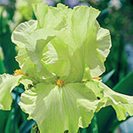 Pride of Ireland Bearded Iris