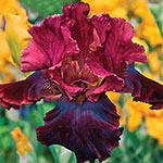 Medici Prince Bearded Iris