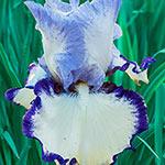 Rings True Bearded Iris