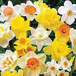 Mixed Daffodils Super Sak<sup>&reg;</sup>