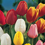 Perennial Tulip Mixture Super Sak<sup>&reg;</sup>