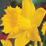 Breck's<sup>&reg</sup> Colossal<sup>&trade;</sup> Daffodil