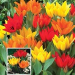Firespray<sup>&trade;</sup> Tulip Mixture