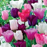 Monet's Garden<sup>&trade;</sup> Tulip Mixture