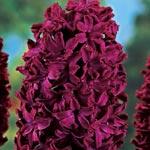 Woodstock Fragrant Giant Hyacinth