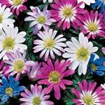 Grecian Windflowers