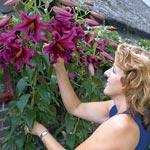 Purple Prince Lily Tree<sup>&reg;</sup>
