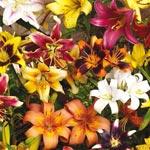 All Season Lily Mixture