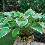 Fragrant Fire Hosta