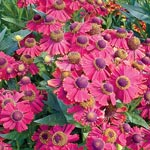 Red Jewel Helenium