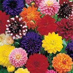 Decorative Dahlia Mixture Super Sak<sup>&reg;</sup>
