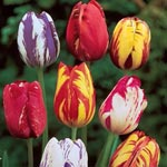 Improved Rembrandt<sup>&trade;</sup> Tulip Mixture