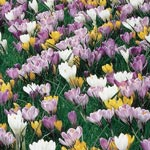 Giant Crocus for Naturalizing