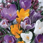 Mixed Crocus Super Sak<sup>&reg;</sup>