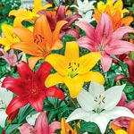 Asiatic Lily Mixture Super Sak<sup>&reg;</sup>