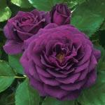 Ebb Tide<sup>&trade;</sup> Floribunda Rose