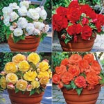 Superba Begonia Collection