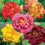 Double Daylily Collection