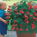 Bertinii Everblooming Begonia