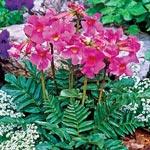 Flowering Fern<sup>&trade;</sup>