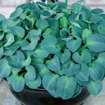 Blue Mouse Ears Dwarf Hosta
