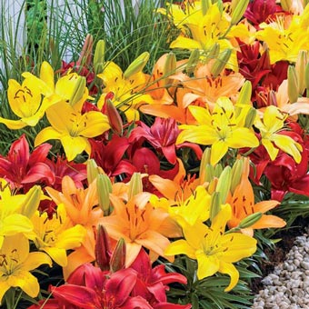 Sunset Carpet Border Lily<sup>&trade;</sup> Mixture