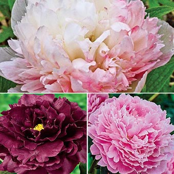 Showy Lifetime Peony Collection