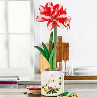 Exotic Peacock Amaryllis in Cookie Jar
