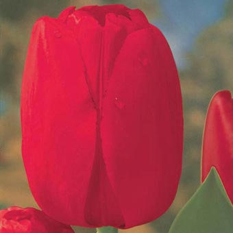 Red Dynasty<sup>&trade;</sup> Tulip