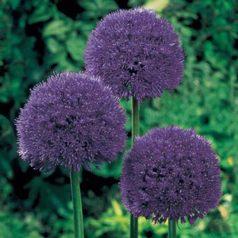 Persian Blue<sup>&trade;</sup> Allium
