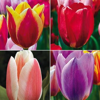 Forever Spring<sup>&trade;</sup> Tulip Collection