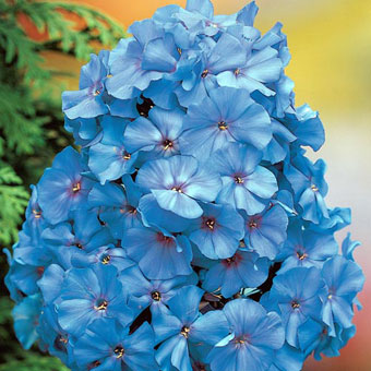 Blue Boy Phlox