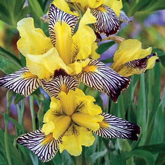 Golden Zebra Iris
