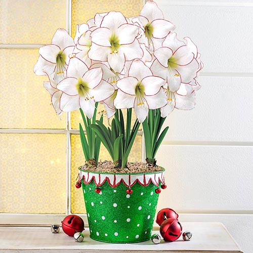 Holiday Gifts Picotee Amaryllis In Jester Pot
