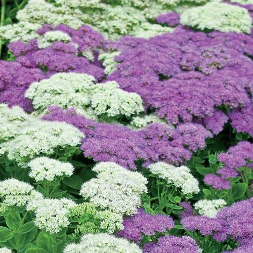 Lavender white sedum mixture brecksbulbs altavistaventures Image collections
