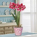 Gervase Single Amaryllis in Pink Pot