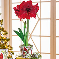 Miracle Amaryllis in Cardinal Pot Duo