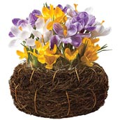 Crocus Bulb Basket