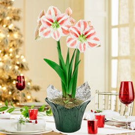 Clown Stripe Amaryllis in Foil Wrapped Pot