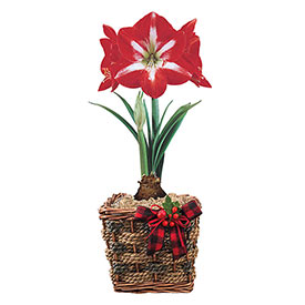 Twinkle Amaryllis in Rope Basket