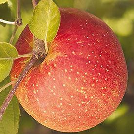Reachables<sup>&reg;</sup> Fuji Apple Tree