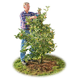 Reachables<sup>®</sup> Honeycrisp Apple Tree