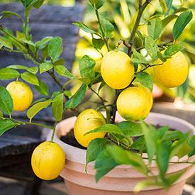 Dwarf Meyer Lemon Tree