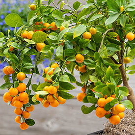 Dwarf Calamondin Orange Tree