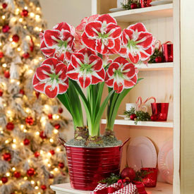 Samba Amaryllis in Red Pot