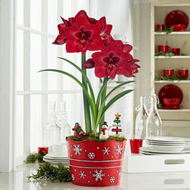 Jumbo Red Reality Amaryllis with Fairy Garden