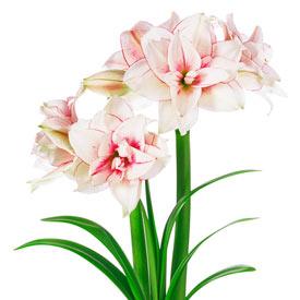 Naked Amaryllis Bulbs
