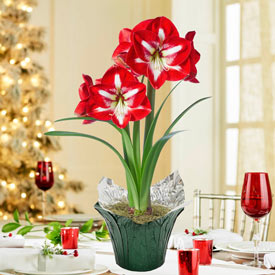 Holiday Star Amaryllis in Foil Wrapped Pot