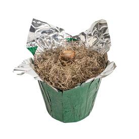 Picotee Amaryllis in Foil Wrapped Pot